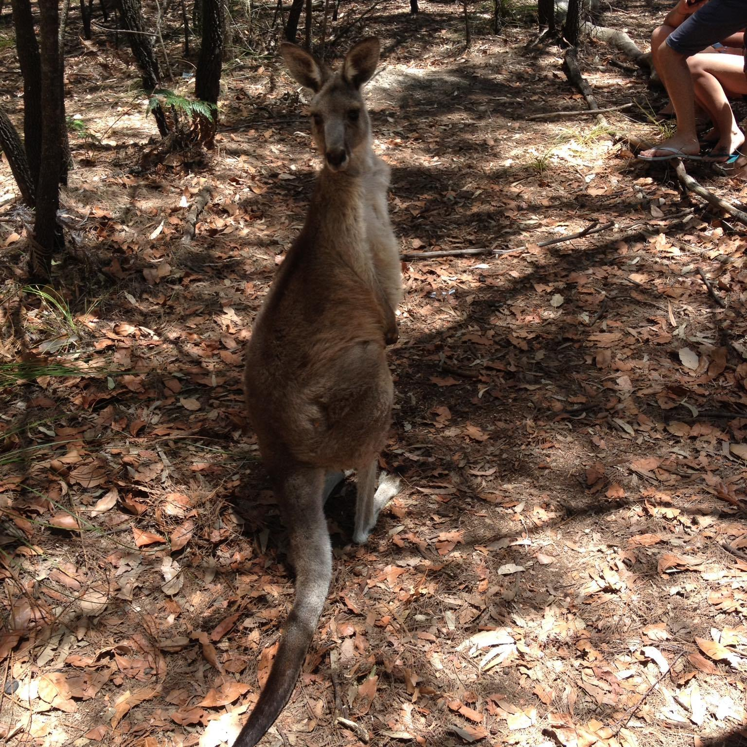 Canguro-Morisset-park-Sydney-Australia