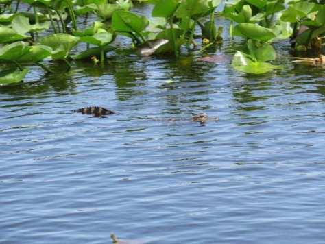 alligatore-Everglades-Miami